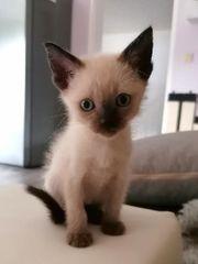 5 reinrassige Siam Thai Kitten