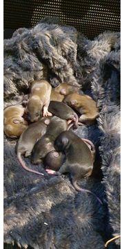 Rattenbays