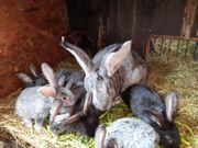Deutsche Riesen Kaninchen Jungtiere