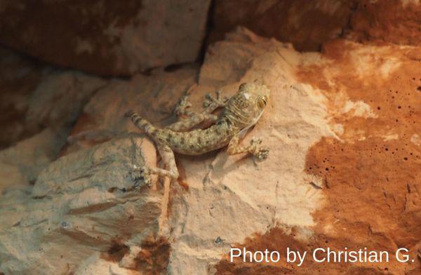 Fächerfingergecko - Ptyodactylus guttatus Männchen DNZ