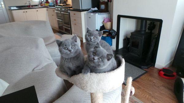 Reinrassige BKH Kitten Katzenbaby