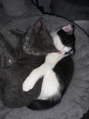 BKH Sckottich fold mix Kitten
