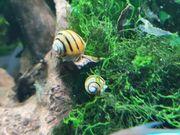 Gestreifter Putztrupp für das Aquarium
