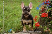 Französische Bulldoggen Welpen in seltener