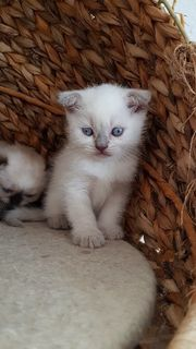 Bkh- Scotish Fold Point Kitten
