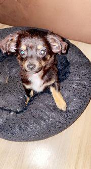 langhaar Chihuahua Welpen