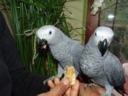 2 2 Graupapagei junge Vögel