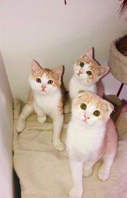Schottisch-Fold Main Coon Kätzchen