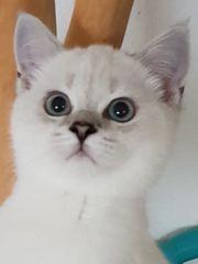 BKH Scottish fold Mix Kätzchen