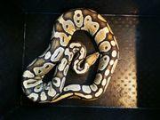 Python Regius Ghost Mojave Het