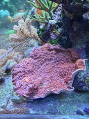 Meerwasser Aquarium chalice XXXL Koralle