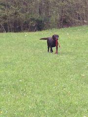 Suche Labrador Hündin ab 1