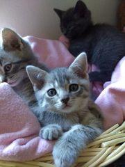 BKH Thai Siam Kitten Katzenbabys