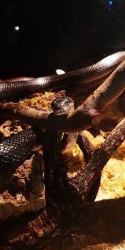 Pantherophis obsoletus Schwarze Erdnatter 1
