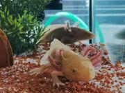 Axolotol Copper aus Hobbyaufzucht in