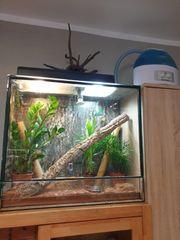 Madagaskar Taggeckos mit Zubehör
