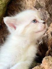 2 BKH kitten in Silver