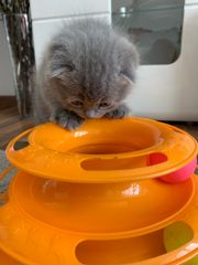 Scottish Fold Kitten BKH nur