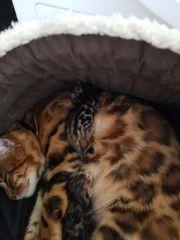 Bengal Katze mit XXL Rosseten