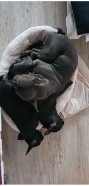 2 Französische Bulldoggen Mädels