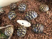 Griechische Landschildkröten 2020 THH