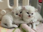 Bkh Scottish Fold Kitten mit
