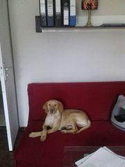 Liebevoller Schmusekuschel Labrador Spike sucht