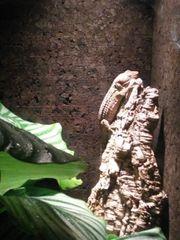Tokeh Gecko Mann