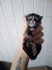 Maine coon kitten Katzenbaby