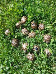 Griechische Landschildkröten Babys - extrem preisgünstig