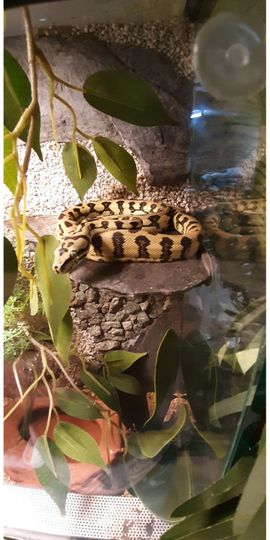 Reptilien, Terraristik - Morelia Spilota