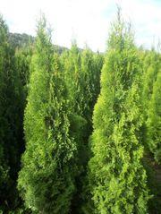 Thuja Smaragd 100cm