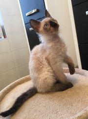 Seltene Sphinx- das creme Kätzchen