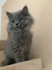 Perser Kätzchen weiblich reinrassig mit