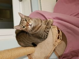 Katzen - Calypso ein toller Tigerkater