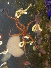 meerwasser Schlangensterne Meerwasser Sterne Meerwasser