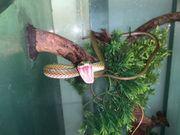 Leptophis ahaetulla Papageienschlange