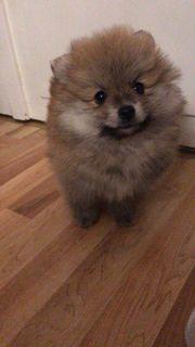 Pomeranian Welpen Rüden