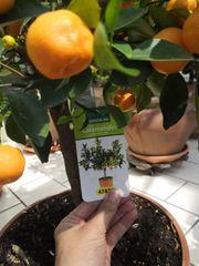 Zitrus Baum Pflanze