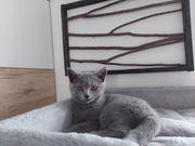 BKH Kitten Mädchen blue 16