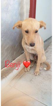 Der kleine Junghund Benji 5