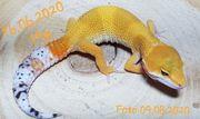 Leopardgecko Tangerine cross 0 0