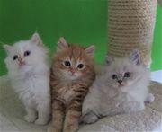 Heilige Birma - Perser Kitten Babykatzen