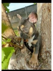 Französische Bulldogge Blue and Tan