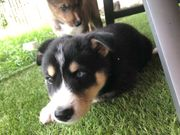 Husky-Shelty Welpen suchen ein liebevolles