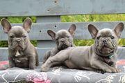 Französische Bulldogge in Blau mit