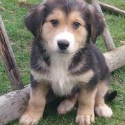 Sennenhund - Border Collie Welpen