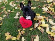 Deckrüde gesucht Französische Bulldogge