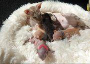 Sphynx Wunderschöne Kätzchen