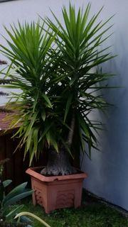 Einmalig schöne Yuccapalme
